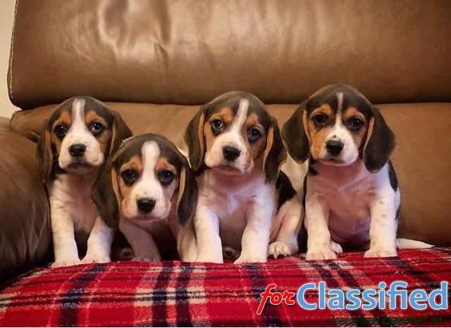 akc reg beagle puppies