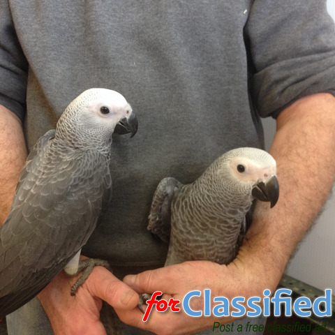 3 African grey parrots for sale