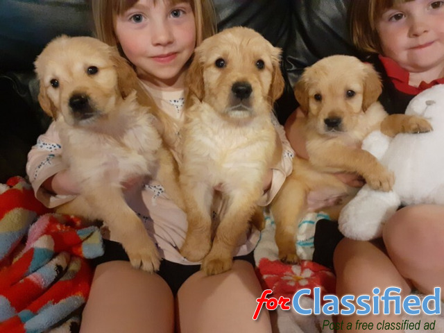 golden retriever puppies for sale, males/female