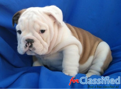 lovely english bull puppies