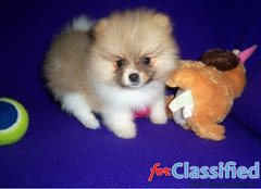 tommy  and emerald are lovely Pomeranian puppies for sale