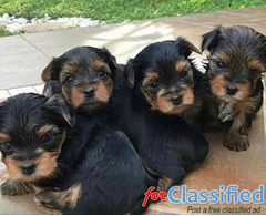 Teacup Yorkie Puppies for Sell