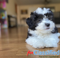 Ethan Male Maltipoo Puppy